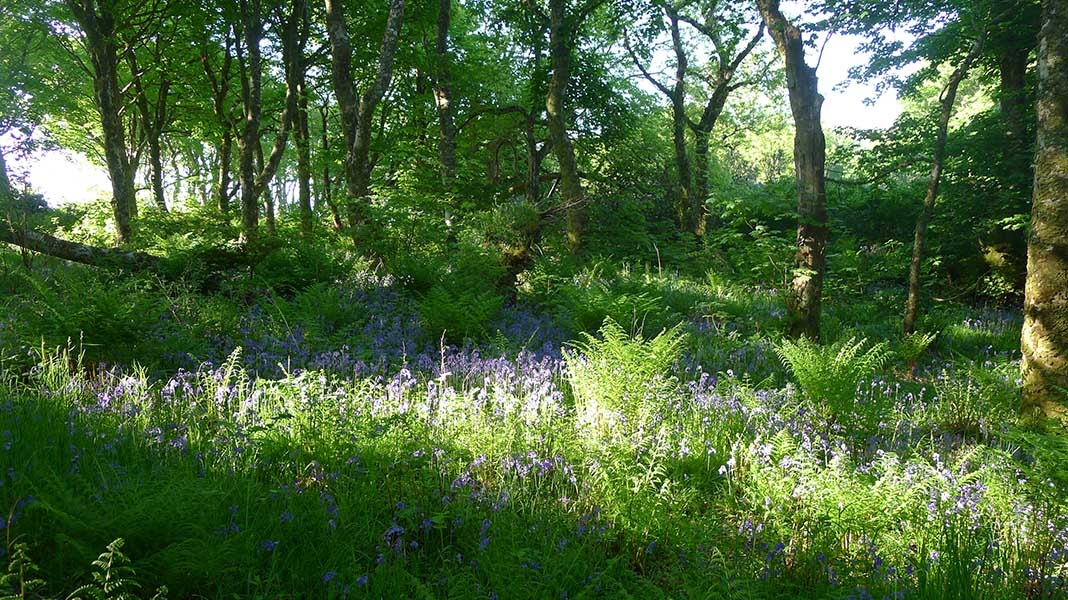 waternish farm bluebells in wood