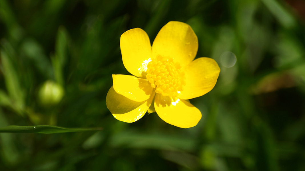 waternish farm buttercup