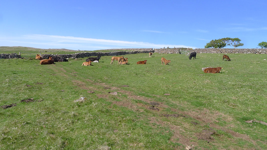 waternish farm cattle lying down
