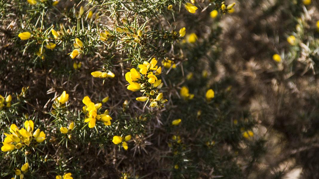 waternish-farm-gorse-closeup