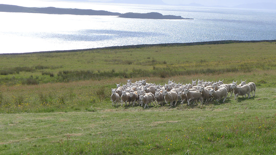 waternish farm sheep
