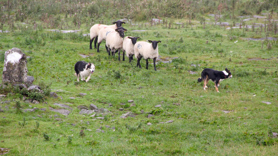 waternish farm sheepdog trials
