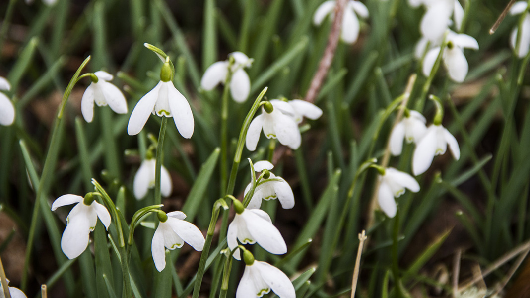 waternish-farm-snowdrops