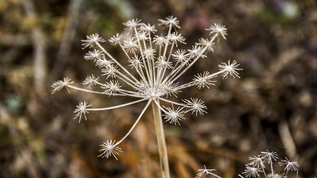 waternish-farm-star-flower