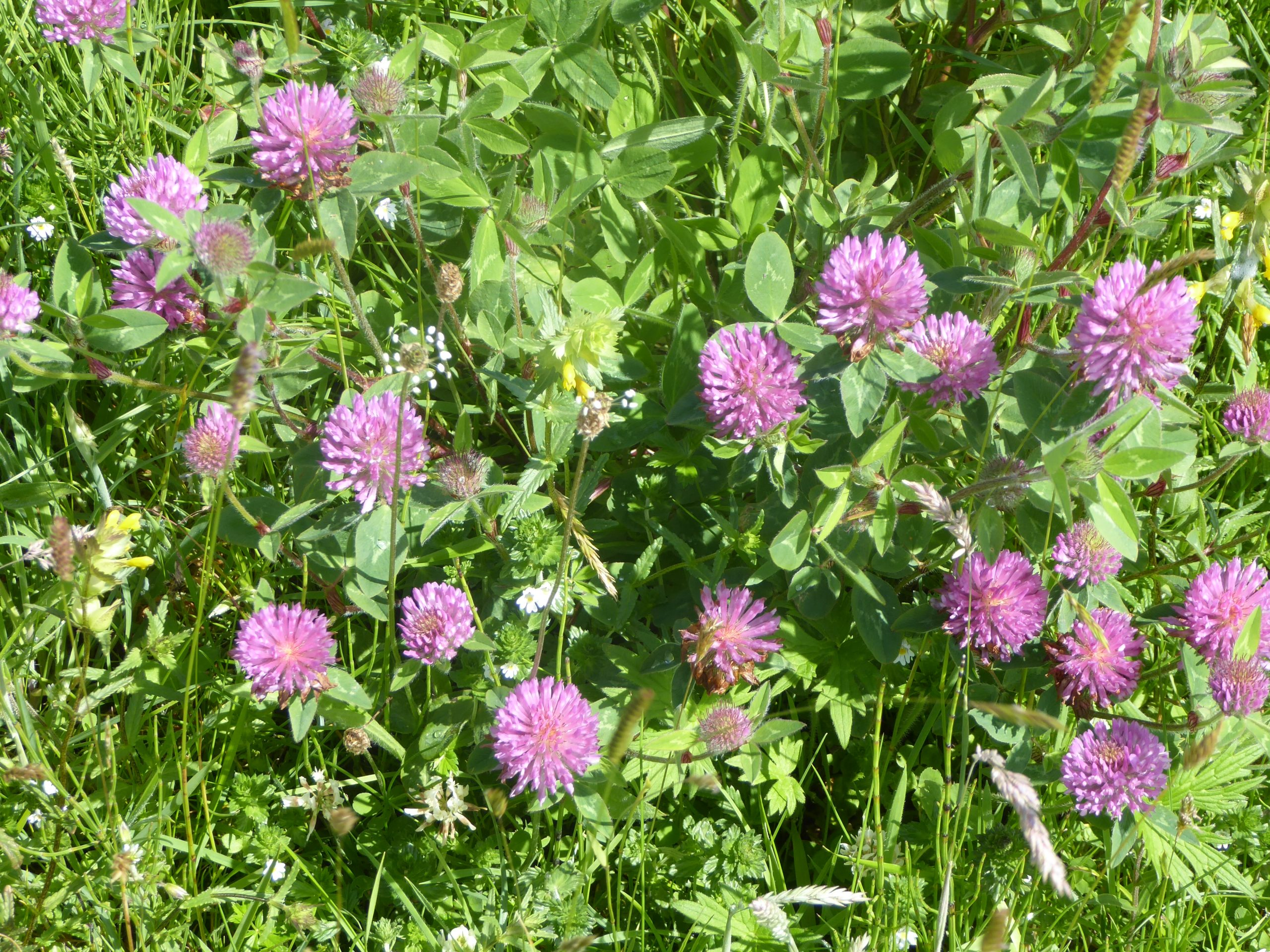 Red clover group