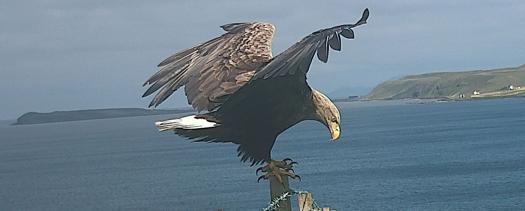 Waternish Farm-sea-eagle