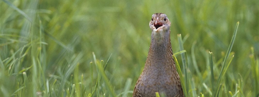 waternish farm corncrake bird