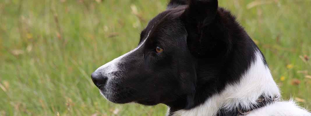 waternish farm sheepdog 2